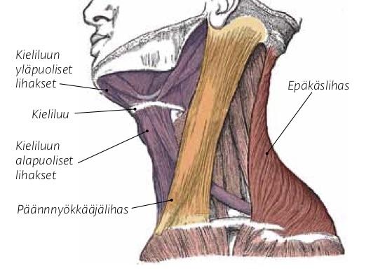 Päännyökkääjälihas
