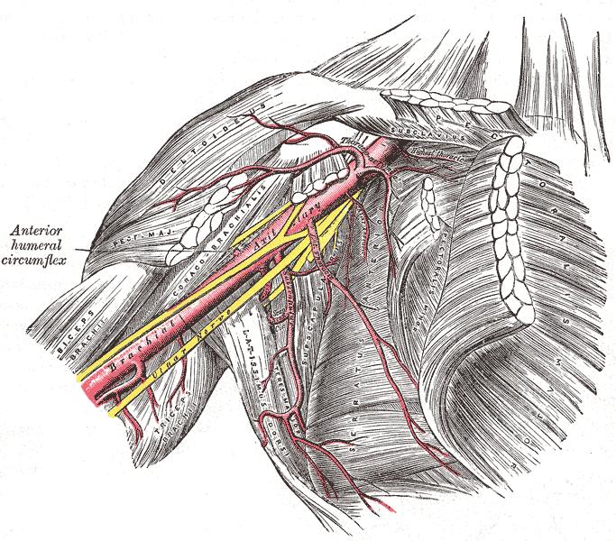 käden yläraajan hermot ja verisuonet