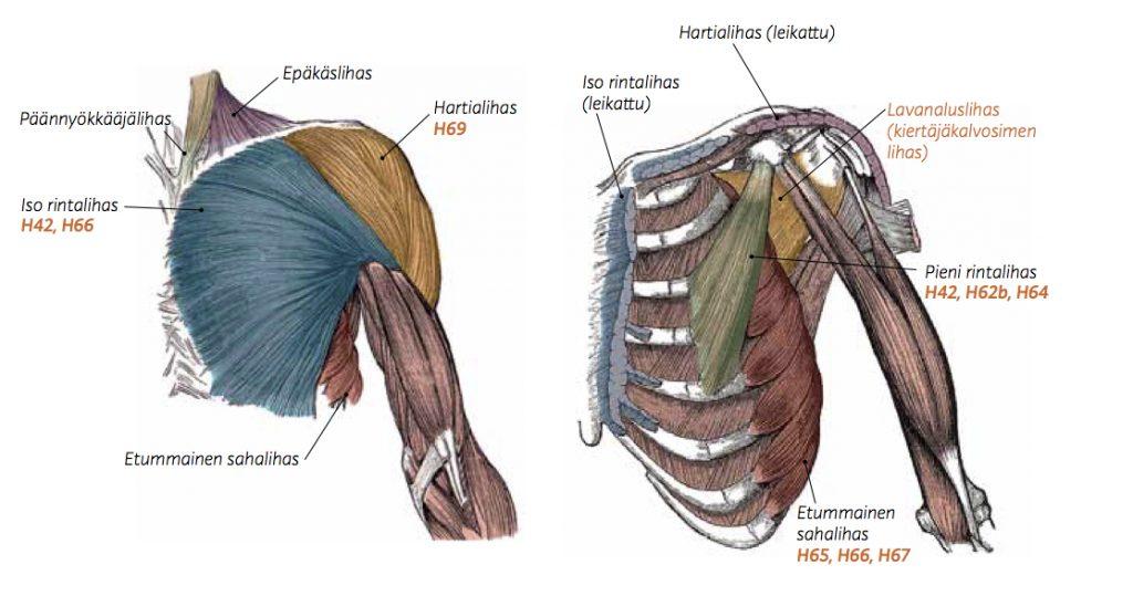 rintalihakset ja hartiarenkaan lihakset
